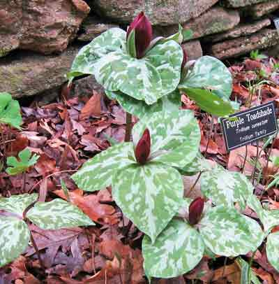 Purple Toadshade Trillium at Asheville-Botanical-Gardens-4-8-2014
