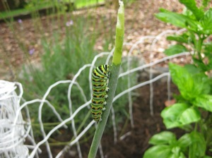 the blue swallowtail butterfly caterpillar feasting on my dill