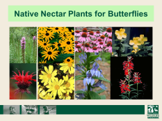Nectar Plants for Butterfiles
