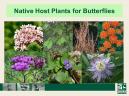 Native Hosts for Butterflies