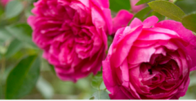 Learn about cultivating a rosey garden!!