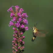 Clearwing moth on Dense Blazing Star