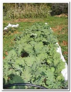 lengnick grow biointensive garden 1